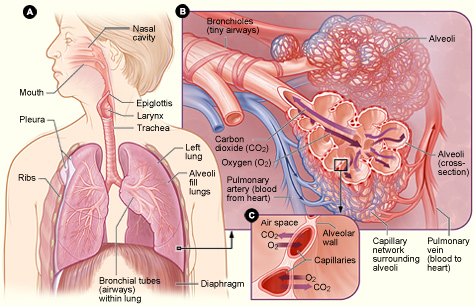 How The Lungs Work National Heart Lung And Blood Institute Nhlbi