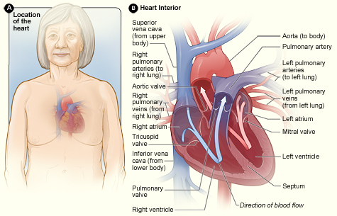How the Heart Works | National Heart, Lung, and Blood Institute (NHLBI)