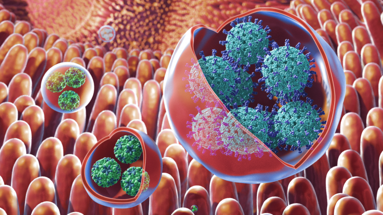 Illustration of membrane-bound vesicles containing clusters of viruses, including rotavirus and norovirus, within the gut. Rotaviruses are shown in the large vesicles, while noroviruses are shown in the smaller vesicles. Credit: NIH