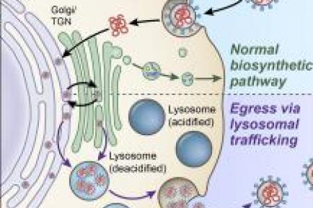 coronaviruses get out of cells using lysosomes