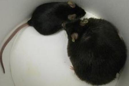 fat lab mouse