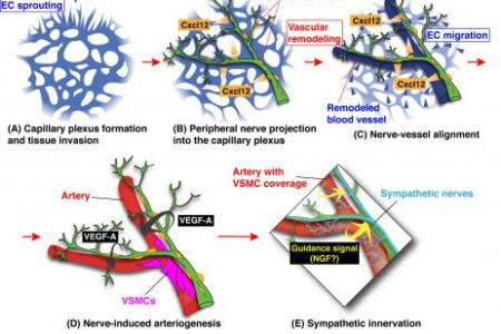 Structural interdependence of blood vessels and nerves to form coordinated branching networks
