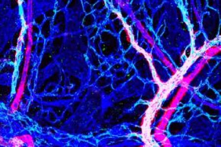 Venous expression of EphB1 in embryonic limb skin vasculature