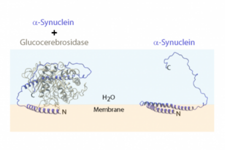 Structural features of membrane-bound glucocerebrosidase and α-synuclein probed by neutron reflectometry and fluorescence spectroscopy