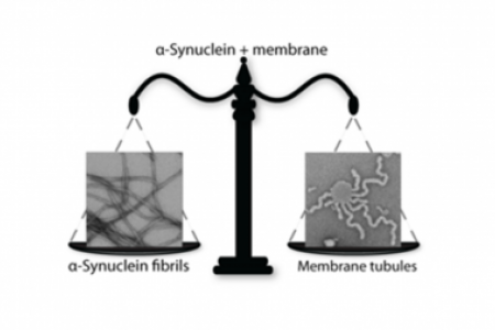 Membrane remodeling by α-synuclein and effects on amyloid formation