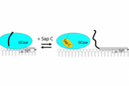 Saposin C protects glucocerebrosidase against α-synuclein inhibition