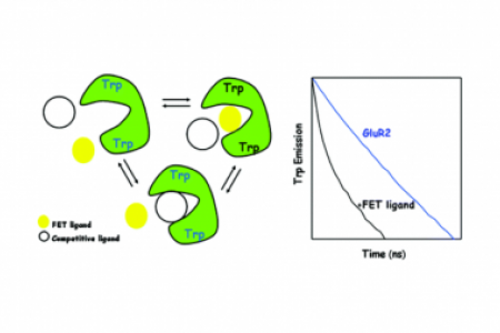 Energy transfer probes of GluR2 ligand binding core