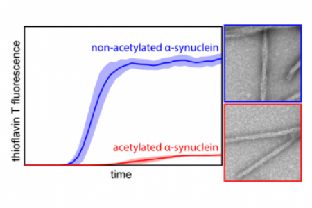 N-terminal acetylation affects α-synuclein fibril polymorphism