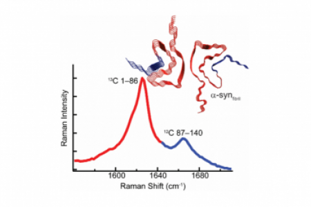 Segmental 13C-labeling and Raman microspectroscopy of α-synuclein amyloid formation