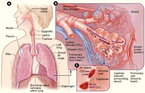Figure A shows the location of the respiratory structures in the body. Figure B is an enlarged view of the airways, alveoli (air sacs), and capillaries (tiny blood vessels). Figure C is a closeup view of gas exchange between the capillaries and alveoli. CO2 is carbon dioxide, and O2 is oxygen.